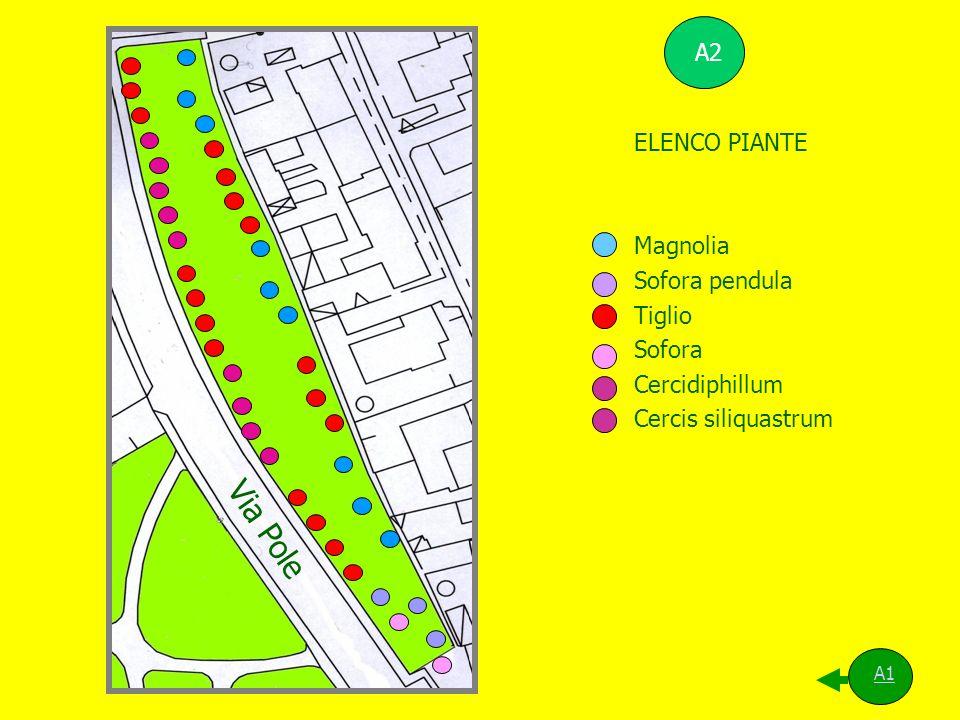 ELENCO PIANTE Magnolia Sofora pendula Tiglio Sofora Cercidiphillum Cercis siliquastrum Via Pole A1