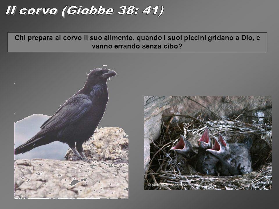 Chi prepara al corvo il suo alimento, quando i suoi piccini gridano a Dio, e vanno errando senza cibo?