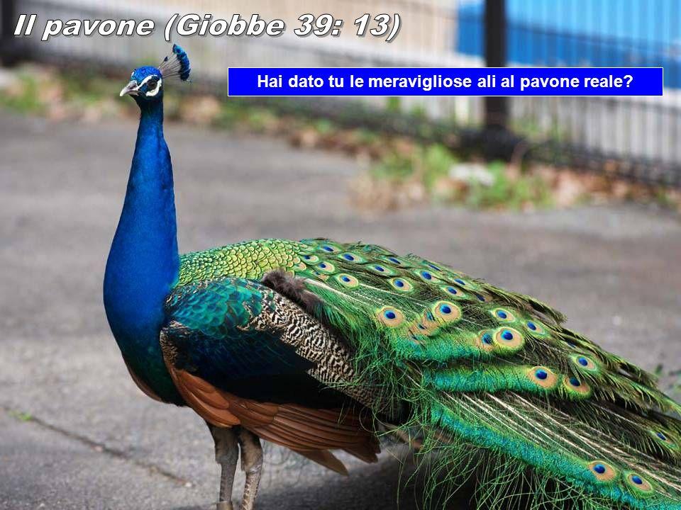 Hai dato tu le meravigliose ali al pavone reale?