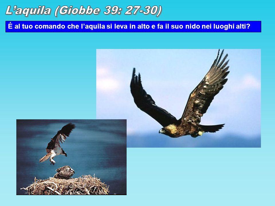 É al tuo comando che laquila si leva in alto e fa il suo nido nei luoghi alti?