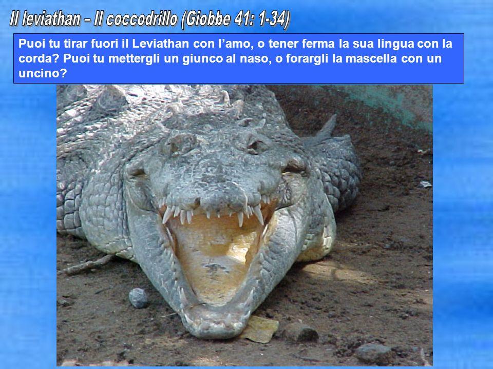 Puoi tu tirar fuori il Leviathan con lamo, o tener ferma la sua lingua con la corda? Puoi tu mettergli un giunco al naso, o forargli la mascella con u