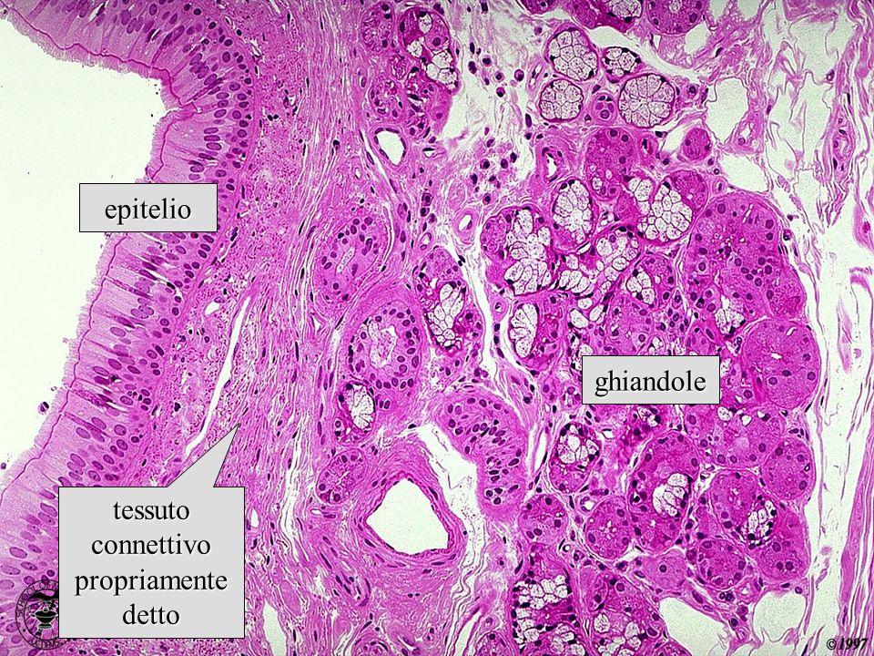 le subunità di tropocollagene sintetizzate dalla cellula sono in via di secrezione… …nello spazio extracellulare, dove avviene la formazione delle fibre assemblaggio extracellulare del collagene