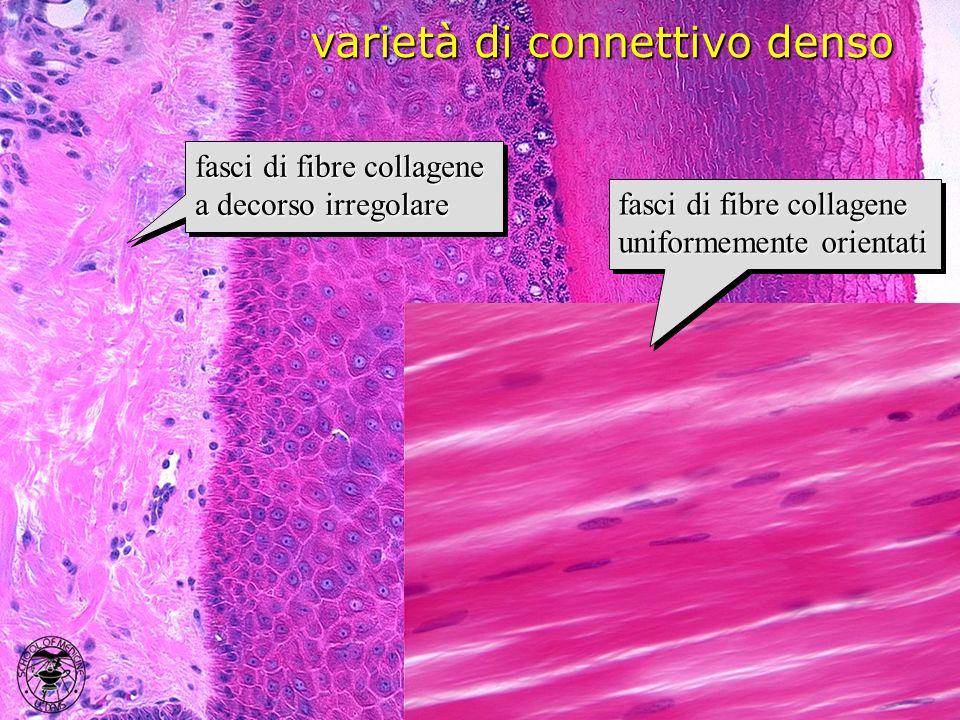 varietà di connettivo denso fasci di fibre collagene a decorso irregolare fasci di fibre collagene uniformemente orientati