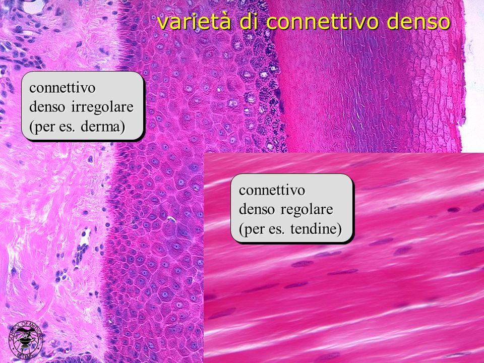 varietà di connettivo denso connettivo denso irregolare (per es. derma) connettivo denso irregolare (per es. derma) connettivo denso regolare (per es.