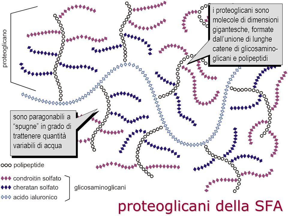 proteoglicani della SFA i proteoglicani sono molecole di dimensioni gigantesche, formate dallunione di lunghe catene di glicosamino- glicani e polipep