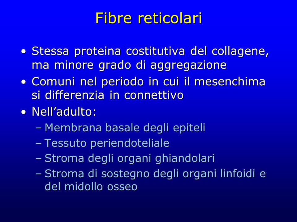 Fibre reticolari Stessa proteina costitutiva del collagene, ma minore grado di aggregazioneStessa proteina costitutiva del collagene, ma minore grado