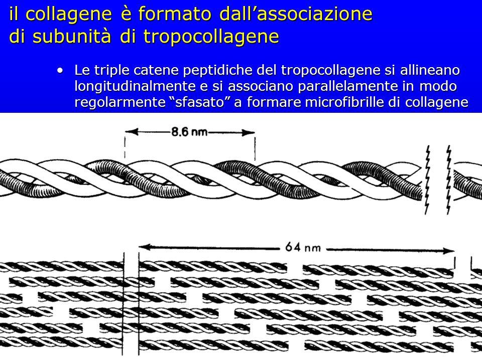 il collagene è formato dallassociazione di subunità di tropocollagene Le triple catene peptidiche del tropocollagene si allineano longitudinalmente e