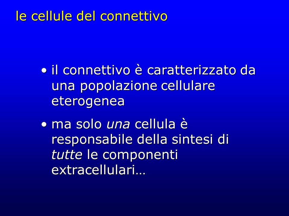 le cellule del connettivo il connettivo è caratterizzato da una popolazione cellulare eterogeneail connettivo è caratterizzato da una popolazione cell