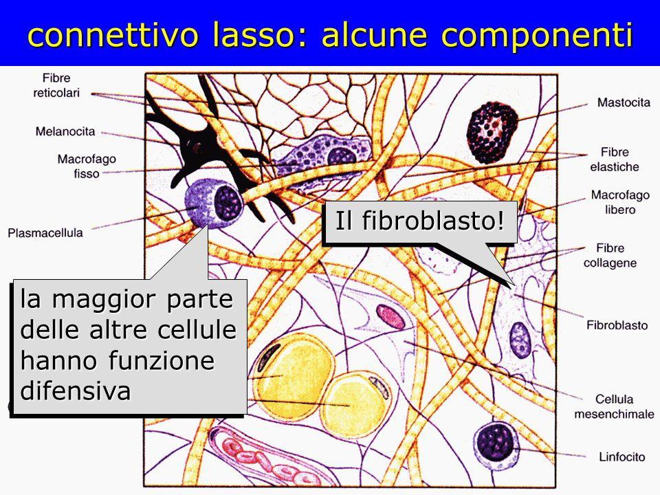 connettivo lasso: alcune componenti Il fibroblasto! la maggior parte delle altre cellule hanno funzione difensiva
