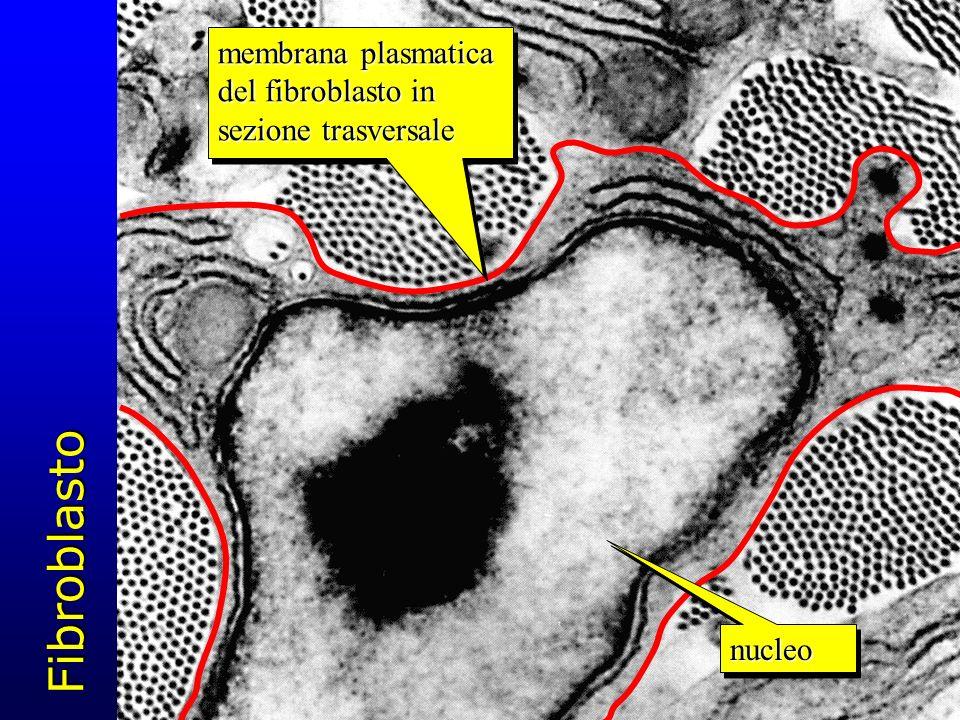 Fibroblasto nucleonucleo membrana plasmatica del fibroblasto in sezione trasversale