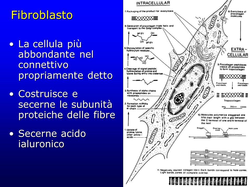 Fibroblasto La cellula più abbondante nel connettivo propriamente dettoLa cellula più abbondante nel connettivo propriamente detto Costruisce e secern