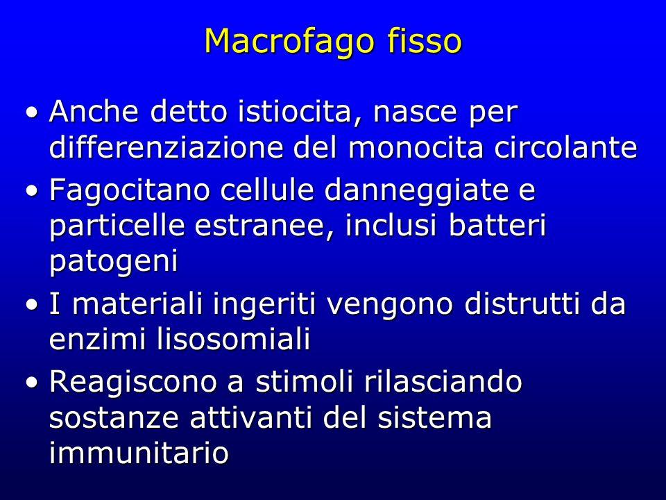 Macrofago fisso Anche detto istiocita, nasce per differenziazione del monocita circolanteAnche detto istiocita, nasce per differenziazione del monocit
