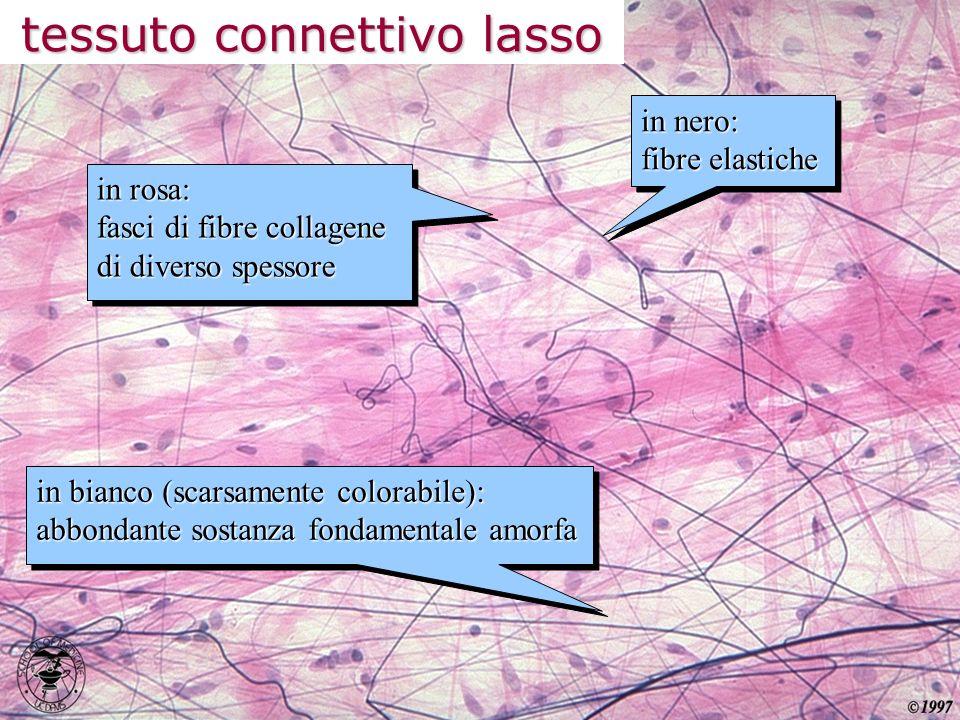 tessuto connettivo denso fasci compatti e ordinati di fibre collagene in sede extracellulare scarse quantità di sostanza fondamentale amorfa