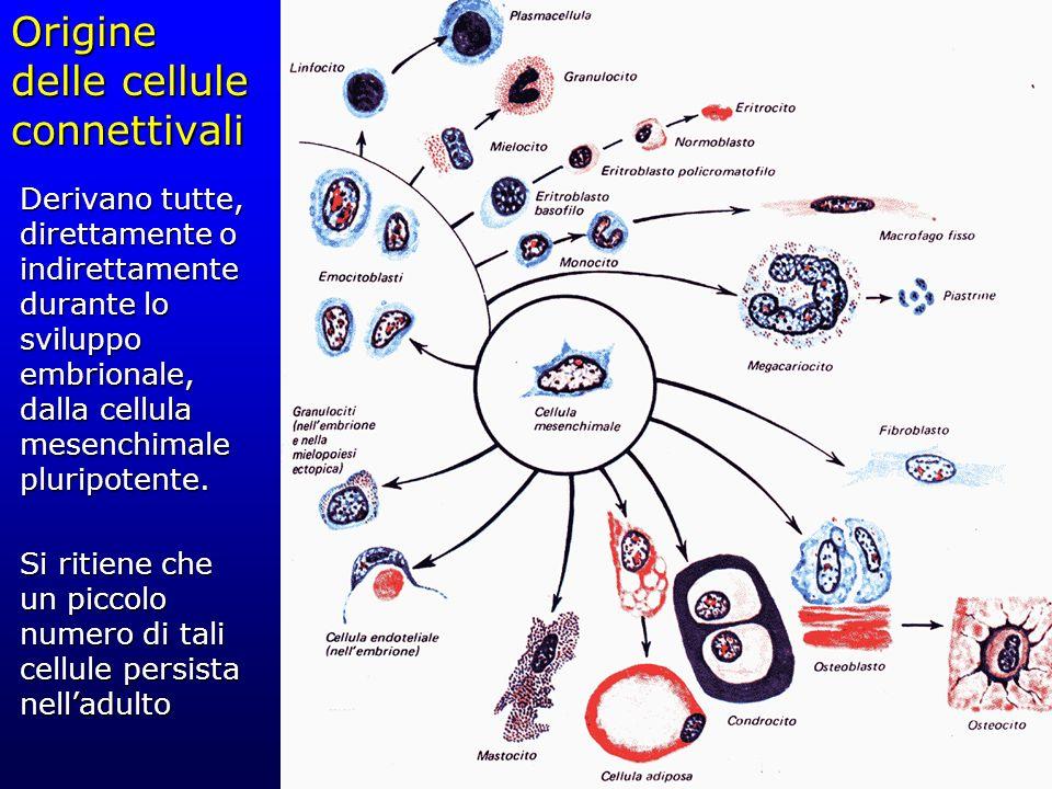 Origine delle cellule connettivali Derivano tutte, direttamente o indirettamente durante lo sviluppo embrionale, dalla cellula mesenchimale pluripoten