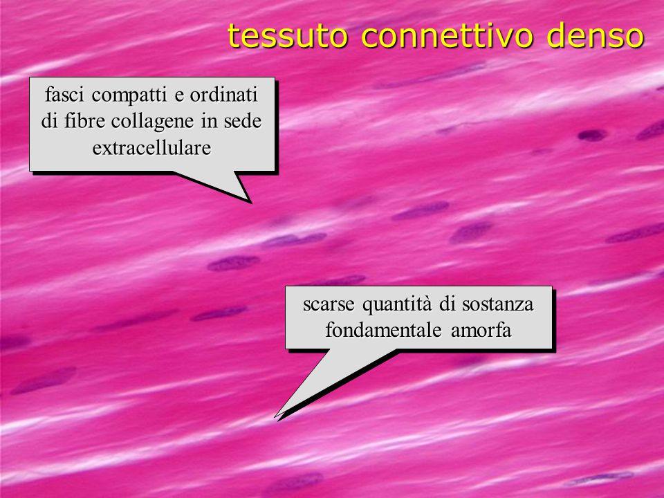 macrofago