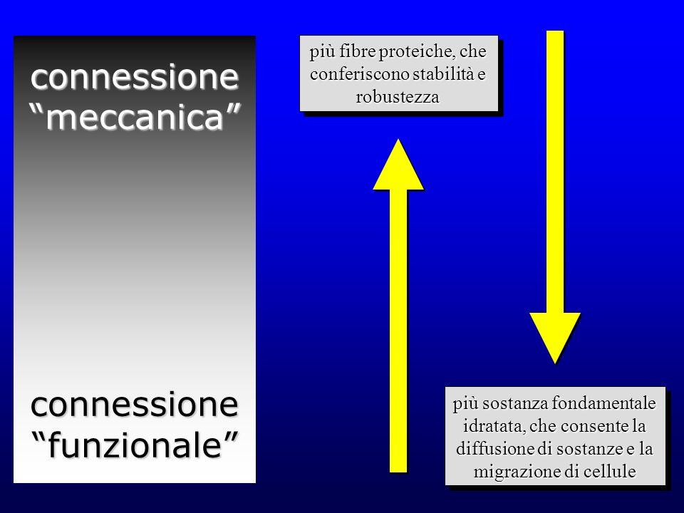 classificazione dei tessuti connettivi propriamente detti lassolasso densodenso –regolare –irregolare altri, fra cui…altri, fra cui… –adiposo
