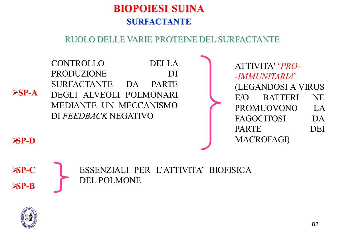 83 SP-A RUOLO DELLE VARIE PROTEINE DEL SURFACTANTE SP-B ATTIVITA PRO- -IMMUNITARIA (LEGANDOSI A VIRUS E/O BATTERI NE PROMUOVONO LA FAGOCITOSI DA PARTE