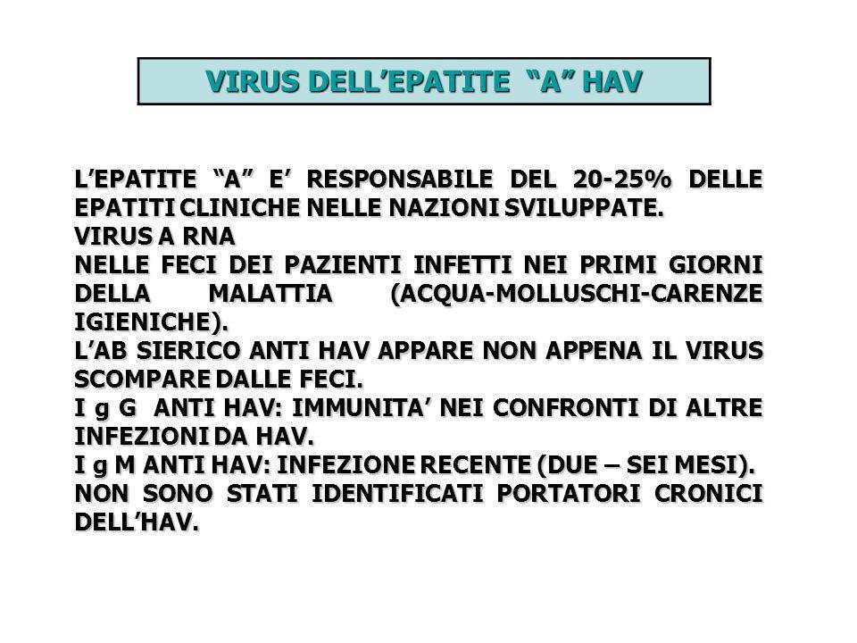 VIRUS DELLEPATITE A HAV LEPATITE A E RESPONSABILE DEL 20-25% DELLE EPATITI CLINICHE NELLE NAZIONI SVILUPPATE. VIRUS A RNA NELLE FECI DEI PAZIENTI INFE