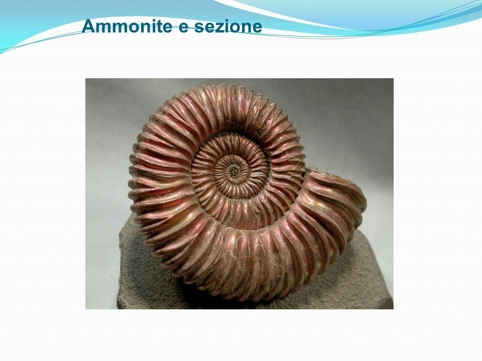 Ammonite e sezione