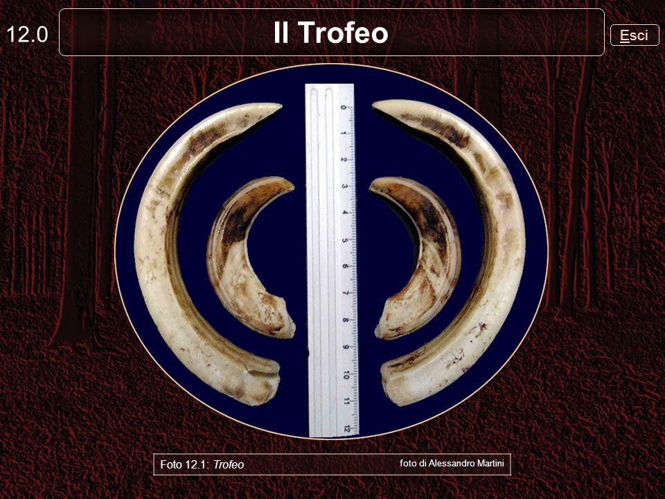 Il Trofeo 12.1 Il Trofeo del cinghiale è costituito dai quattro canini superiori ed inferiori che nella mandibola sono le due zanne e nella mascelle i due coti, corti e rivolti allinsù Foto 12.2: Trofeo foto di Alessandro Martini