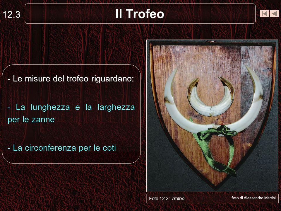 Il Trofeo 12.4 Foto 12.1: Trofeo foto di Alessandro Martini A B C D - Lunghezza (A – B) e Larghezza (C – D) delle zanne - La lunghezza si misura sempre lungo la parte esterna della curva