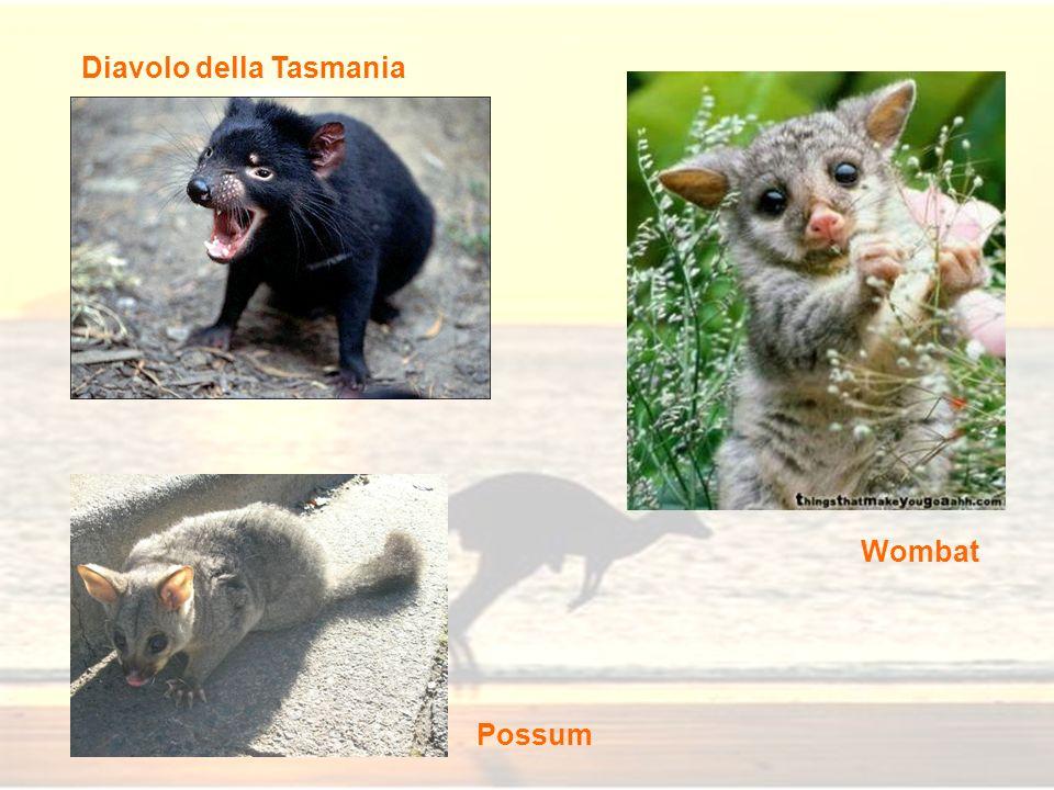 Diavolo della Tasmania Wombat Possum