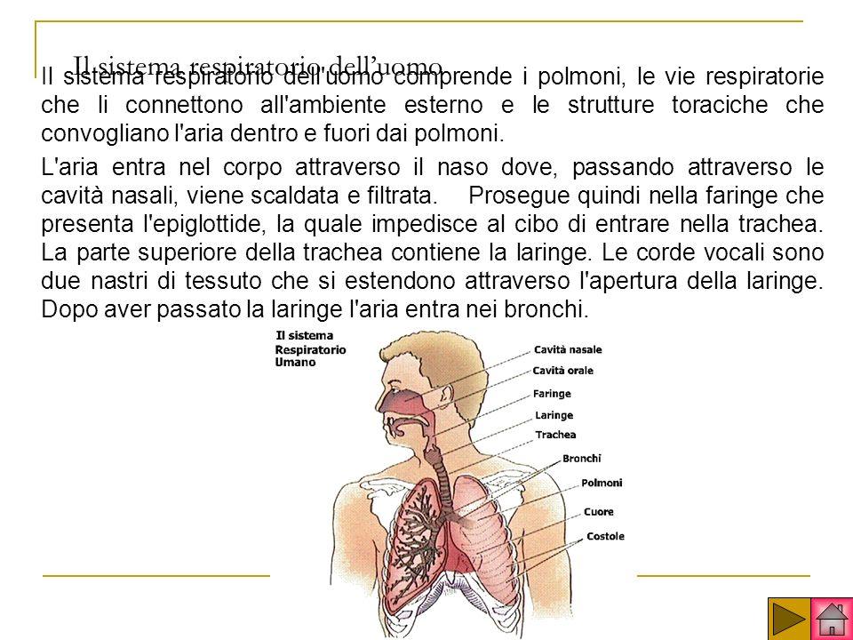 Il sistema respiratorio delluomo Il sistema respiratorio dell uomo comprende i polmoni, le vie respiratorie che li connettono all ambiente esterno e le strutture toraciche che convogliano l aria dentro e fuori dai polmoni.