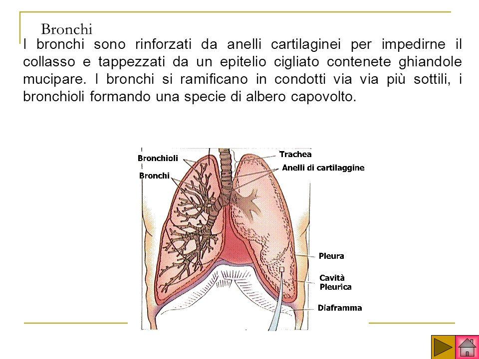 Bronchi I bronchi sono rinforzati da anelli cartilaginei per impedirne il collasso e tappezzati da un epitelio cigliato contenete ghiandole mucipare.