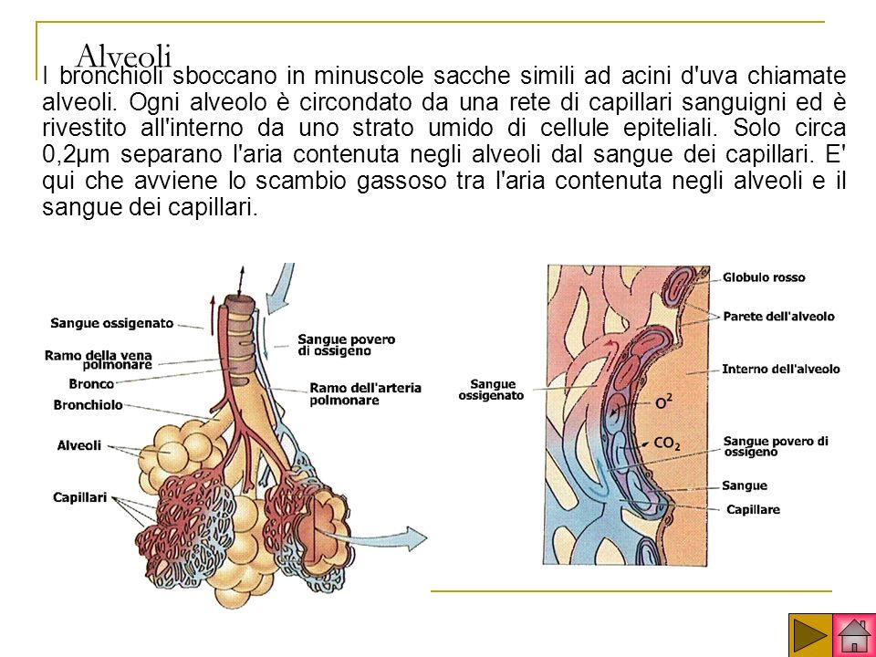 Alveoli I bronchioli sboccano in minuscole sacche simili ad acini d uva chiamate alveoli.