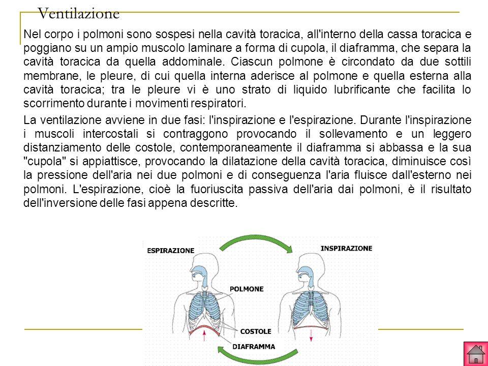 Ventilazione Nel corpo i polmoni sono sospesi nella cavità toracica, all interno della cassa toracica e poggiano su un ampio muscolo laminare a forma di cupola, il diaframma, che separa la cavità toracica da quella addominale.