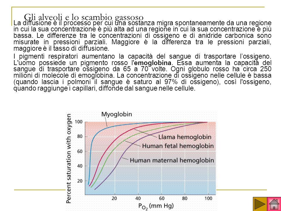 Gli alveoli e lo scambio gassoso La diffusione è il processo per cui una sostanza migra spontaneamente da una regione in cui la sua concentrazione è più alta ad una regione in cui la sua concentrazione è più bassa.