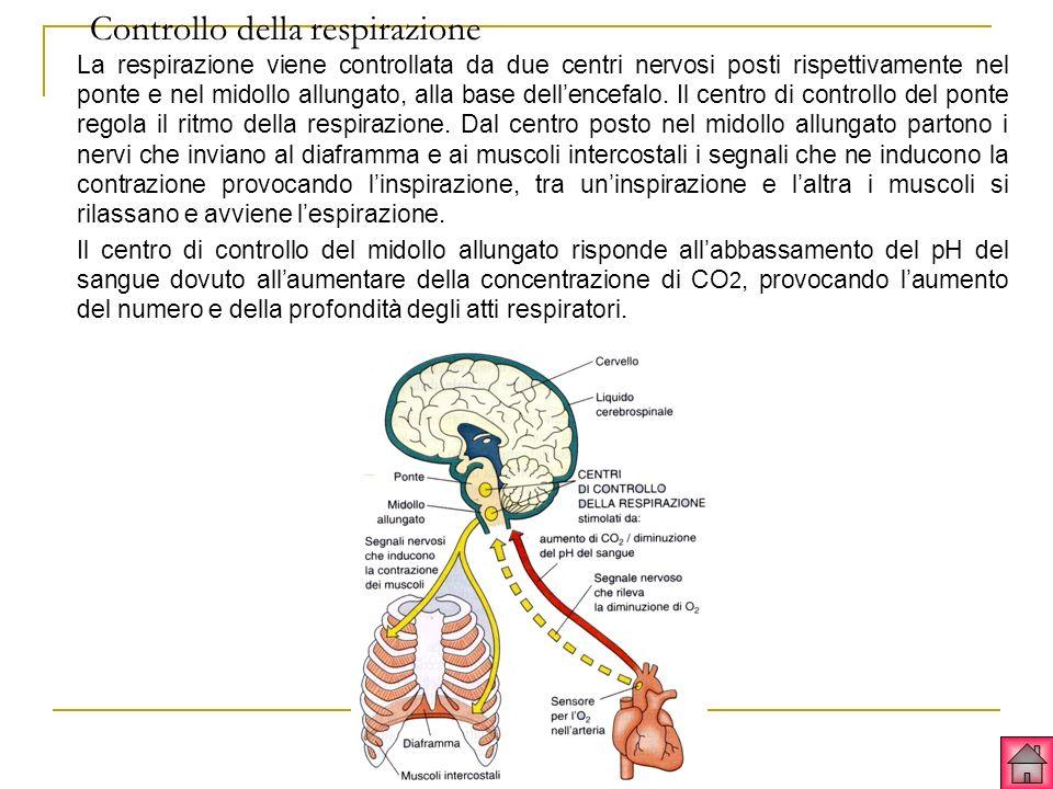 Controllo della respirazione La respirazione viene controllata da due centri nervosi posti rispettivamente nel ponte e nel midollo allungato, alla base dellencefalo.