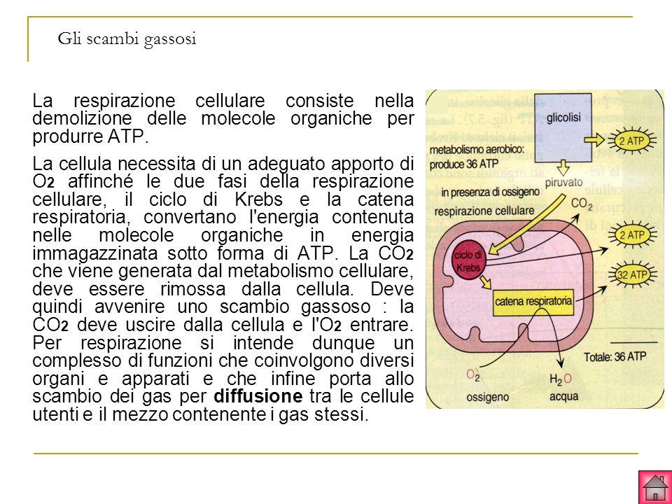 Gli scambi gassosi La respirazione cellulare consiste nella demolizione delle molecole organiche per produrre ATP. La cellula necessita di un adeguato
