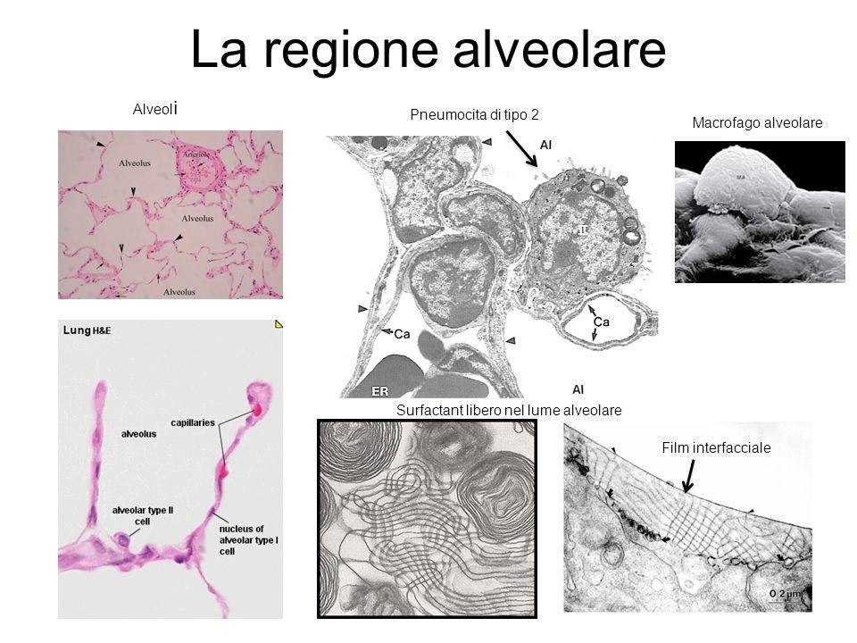 La regione alveolare Alveol i Pneumocita di tipo 2 Surfactant libero nel lume alveolare Film interfacciale Macrofago alveolare