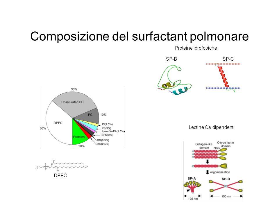 Composizione del surfactant polmonare DPPC Proteine idrofobiche SP-B SP-C Lectine Ca-dipendenti
