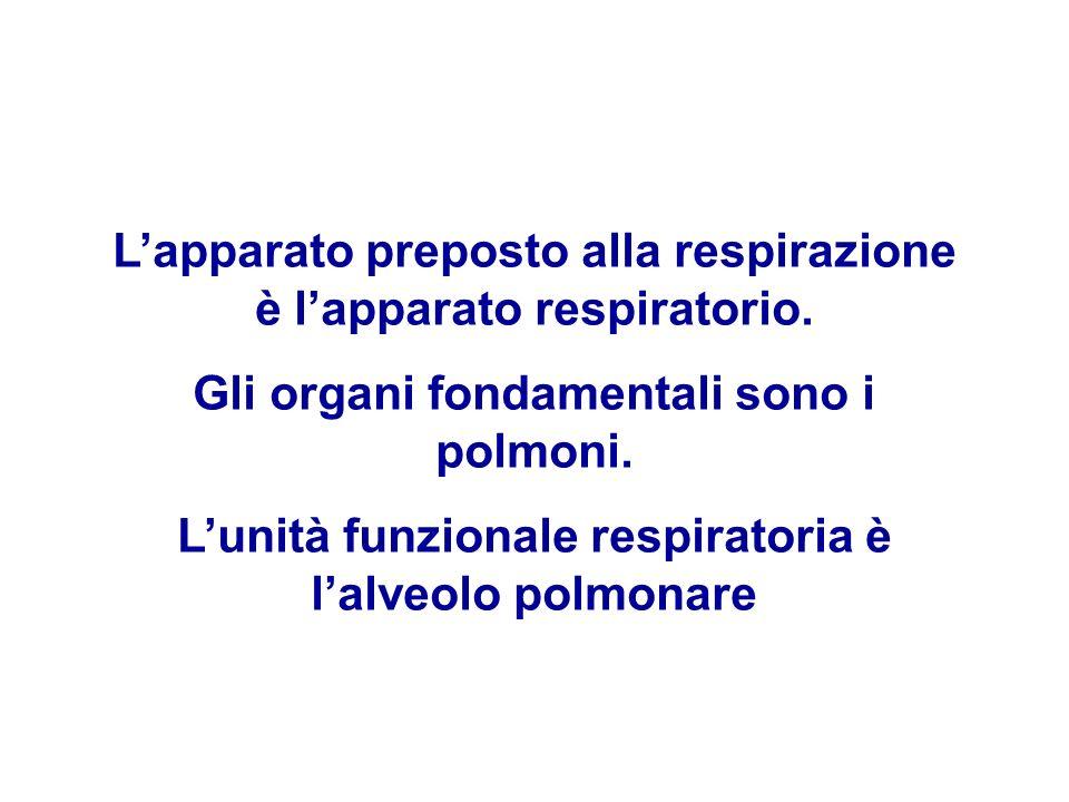 Lapparato preposto alla respirazione è lapparato respiratorio. Gli organi fondamentali sono i polmoni. Lunità funzionale respiratoria è lalveolo polmo