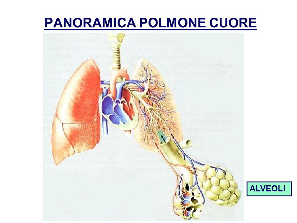 PANORAMICA POLMONE CUORE ALVEOLI