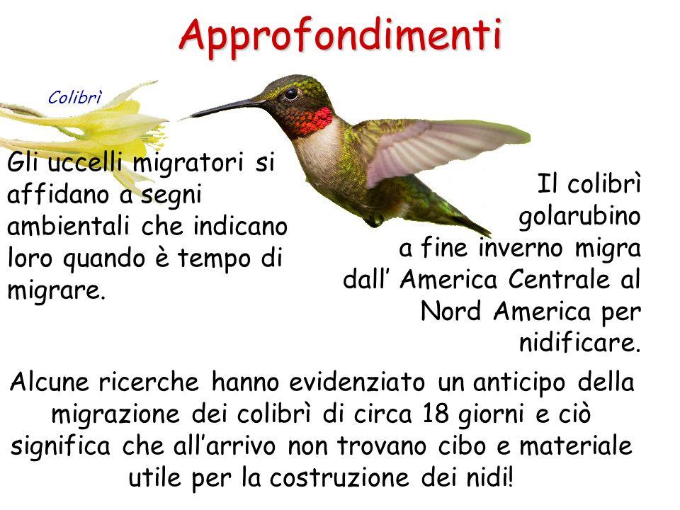 Approfondimenti Gli uccelli migratori si affidano a segni ambientali che indicano loro quando è tempo di migrare. Colibrì Il colibrì golarubino a fine