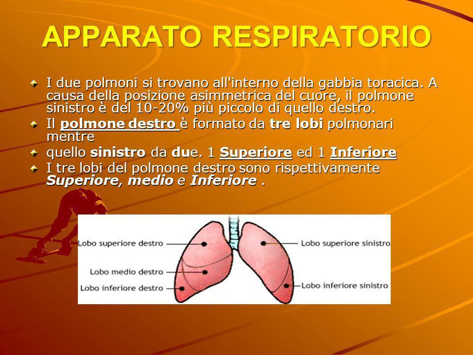 APPARATO RESPIRATORIO I due polmoni si trovano all'interno della gabbia toracica. A causa della posizione asimmetrica del cuore, il polmone sinistro è