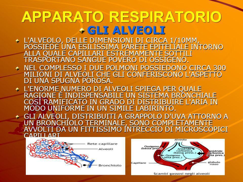 APPARATO RESPIRATORIO GLI ALVEOLI L'ALVEOLO, DELLE DIMENSIONI DI CIRCA 1/10MM, POSSIEDE UNA ESILISSIMA PARETE EPITELIALE INTORNO ALLA QUALE CAPILLARI