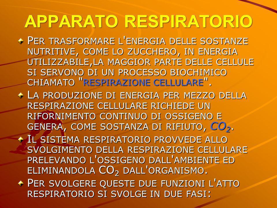 APPARATO RESPIRATORIO P ER TRASFORMARE L ' ENERGIA DELLE SOSTANZE NUTRITIVE, COME LO ZUCCHERO, IN ENERGIA UTILIZZABILE, LA MAGGIOR PARTE DELLE CELLULE