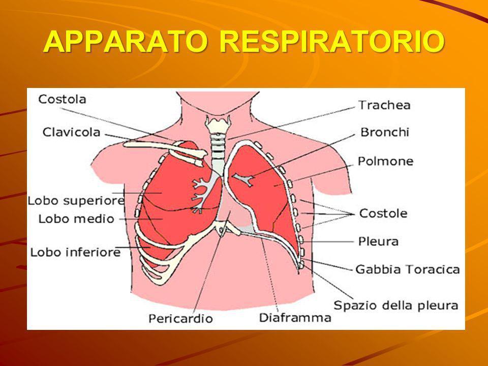 APPARATO RESPIRATORIO I due polmoni si trovano all interno della gabbia toracica.