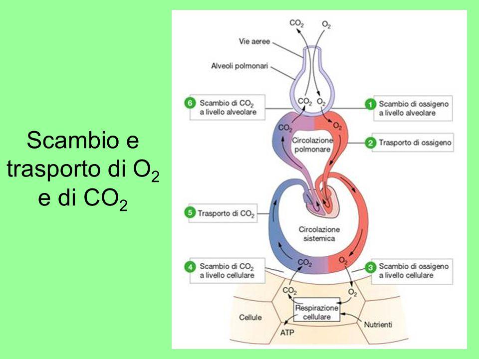 Meccanismo degli scambi gassosi alveolari Gli scambi gassosi sono dovuti a gradienti di pressione parziale dei singoli gas fra laria alveolare e il sangue I gas si spostano dal luogo dove hanno pressione maggiore a quello dove la loro pressione è minore fino a raggiungere lequilibrio In particolare, nel polmone: lO 2 abbandona laria alveolare dove ha una P O2 di 100 mmHg e passa nel sangue polmonare dove la P O2 è di 40 mmHg; la CO 2, invece, passa dal sangue polmonare, dove ha una P di 46 mmHg allaria alveolare, dove ha una P di 40 mmHg Viceversa, a livello tissutale: lO 2 abbandona il sangue dove ha una P O2 di 100 mmHg e passa nelle cellule dove la P O2 è di 40 mmHg; la CO 2, invece, passa dalle cellule dei tessuti, dove ha una P CO2 di 46 mmHg, al sangue dove ha una P CO2 di 40 mmHg