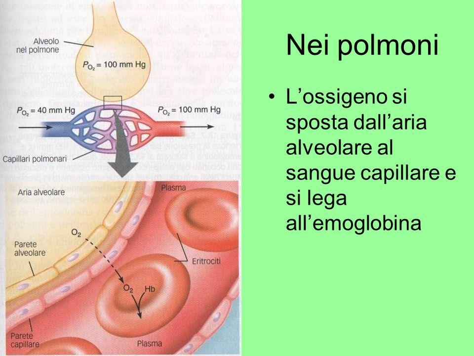 Nei polmoni Lossigeno si sposta dallaria alveolare al sangue capillare e si lega allemoglobina