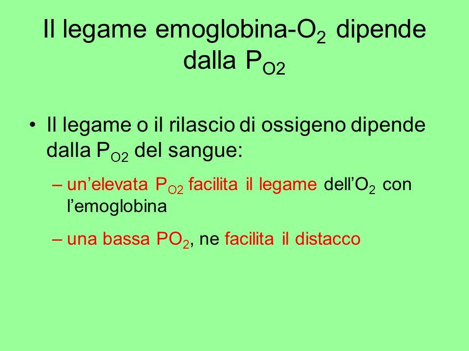 Il legame emoglobina-O 2 dipende dalla P O2 Il legame o il rilascio di ossigeno dipende dalla P O2 del sangue: –unelevata P O2 facilita il legame dell