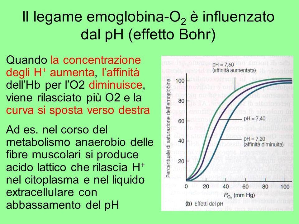 Il legame emoglobina-O 2 è influenzato dal pH (effetto Bohr) Quando la concentrazione degli H + aumenta, laffinità dellHb per lO2 diminuisce, viene ri