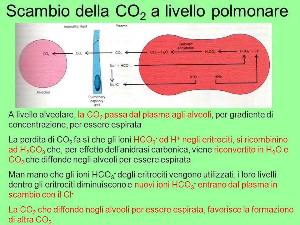 Scambio della CO 2 a livello polmonare A livello alveolare, la CO 2 passa dal plasma agli alveoli, per gradiente di concentrazione, per essere espirat