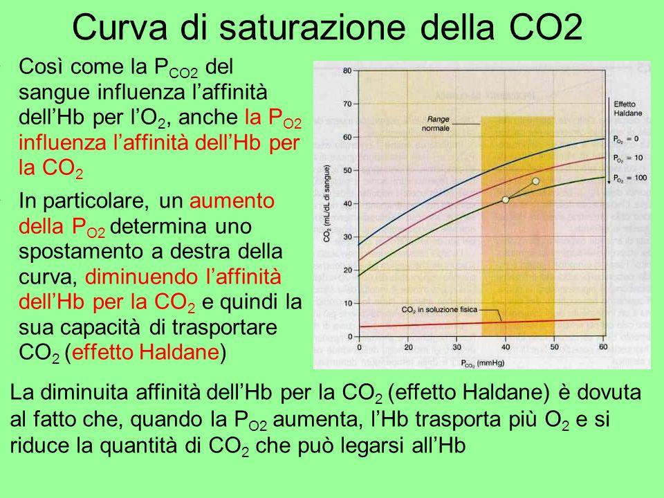 Curva di saturazione della CO2 Così come la P CO2 del sangue influenza laffinità dellHb per lO 2, anche la P O2 influenza laffinità dellHb per la CO 2