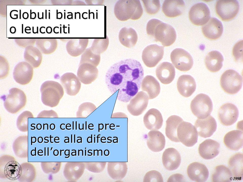 sono cellule pre- poste alla difesa dellorganismo Globuli bianchi o leucociti