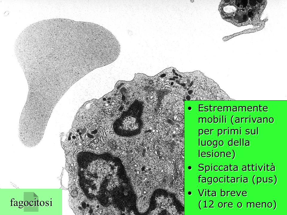neutrofilo (TEM) Estremamente mobili (arrivano per primi sul luogo della lesione)Estremamente mobili (arrivano per primi sul luogo della lesione) Spic